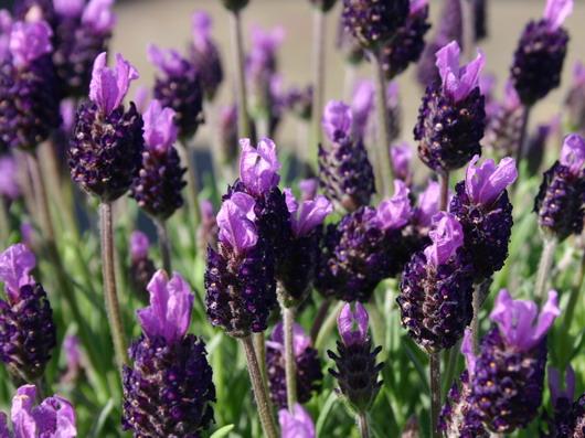 i16815-Schopf-Lavendel-Silver-Summer
